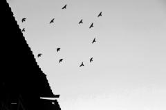 birds copy b n w